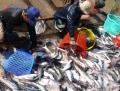 Có vaccine phòng bệnh cho cá tra