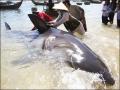 Phanh thây cá mập dài 1,5m giữa Hà Nội
