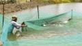 Nuôi nước trước nuôi tôm - giải pháp sinh học từ các loài cá