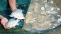 Nhu cầu cá rô phi toàn cầu ổn định