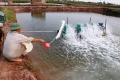 Thông tin tôm chết ở Thái Bình do xả thải nước sản xuất công nghiệp là không đúng