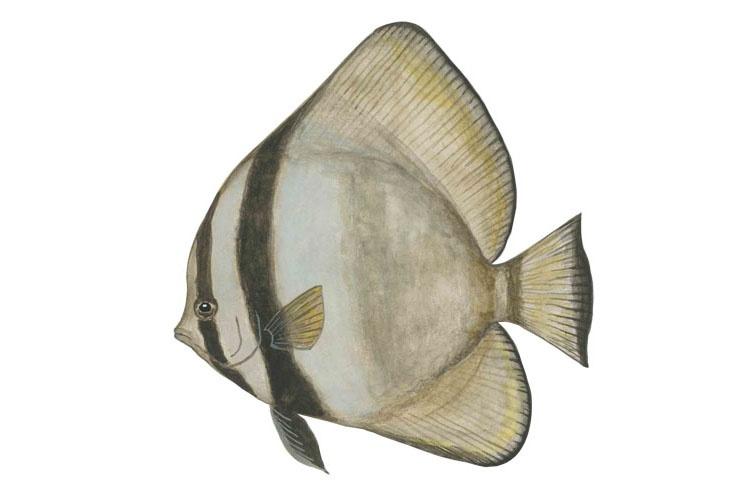 Cá Ó Lửa