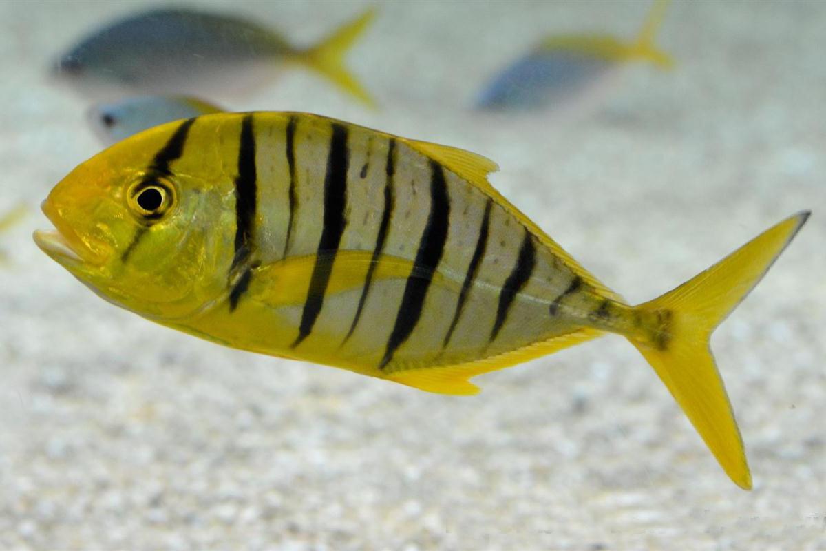 Cá Khế Vằn Gnathanodon speciosus