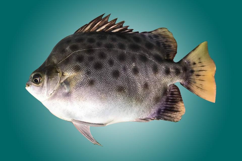 Cá Nâu Scatophagus argus