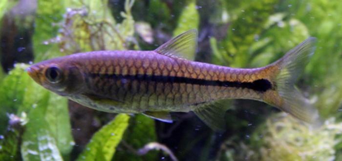 Cá Lòng tong vạch