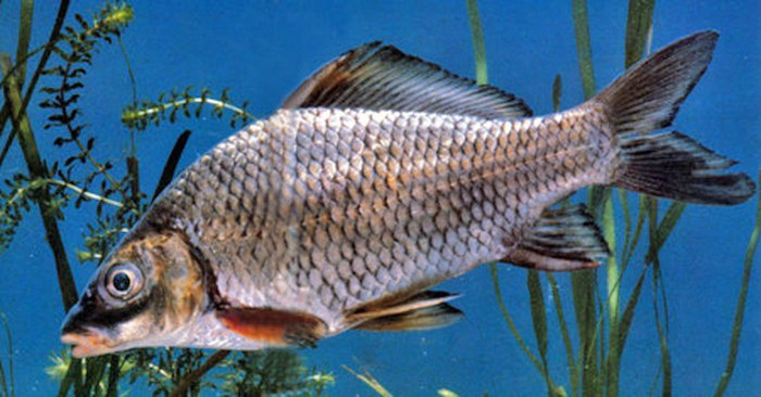 Cá Lợ thân thấp