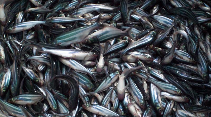 Cá tra giống loại 30-35 con/kg