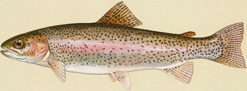 Cá hồi Oncorhynchus spp.