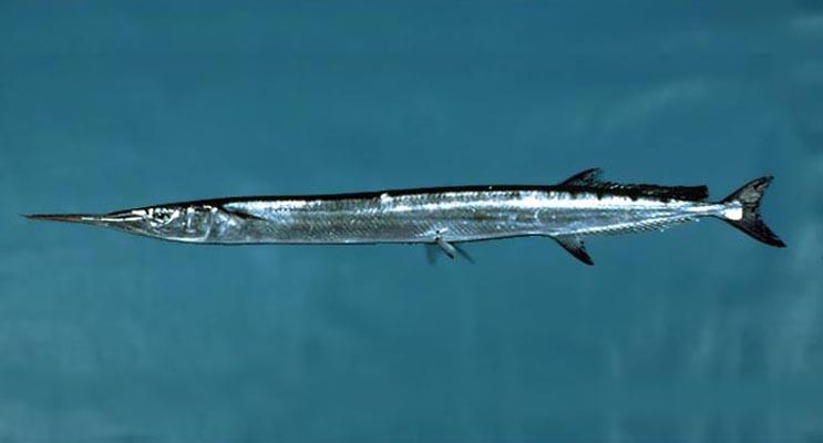 Cá Quại vằn