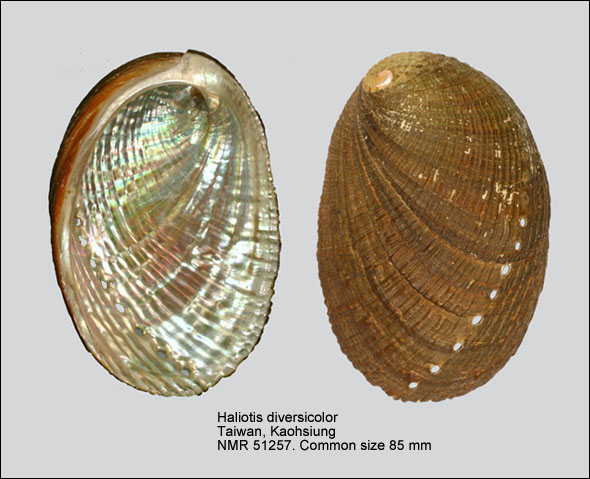 Bào ngư chín lỗ Haliotis diversicolor