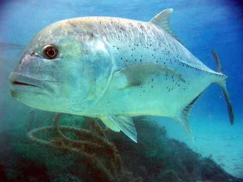 Cá Khế vây vàng