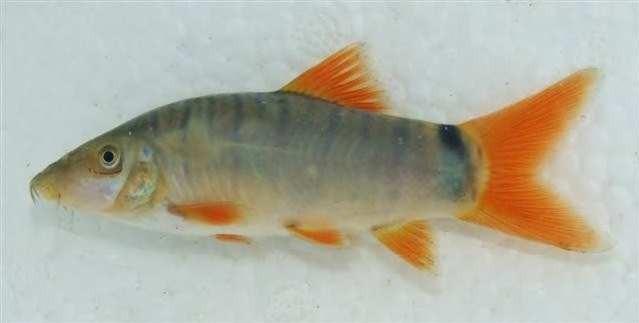 Cá Nanh Heo