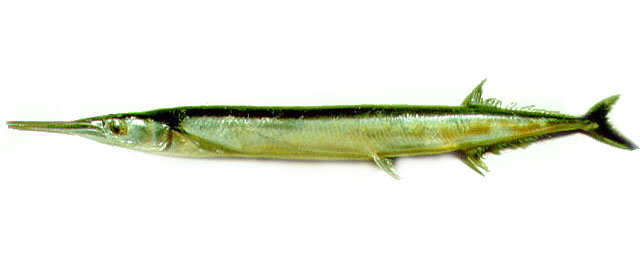 Cá nhói lưng đen