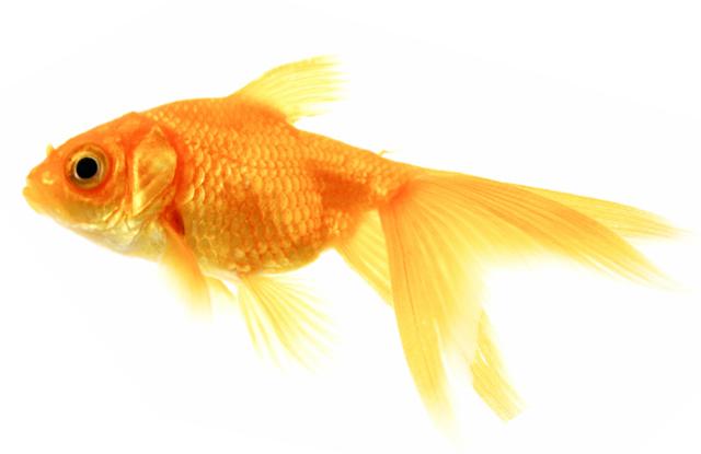 Cá vàng Carassius auratus
