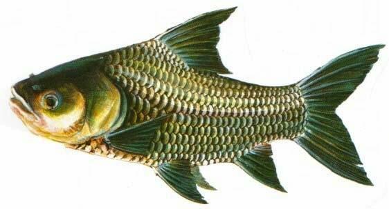 Cá hô Catlocarpio siamensis