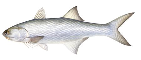 Cá nhụ bốn râu Eleutheronema tetradactylum