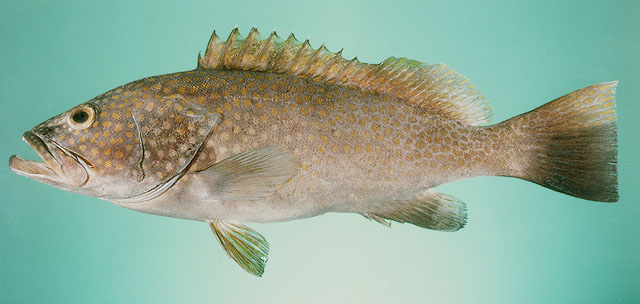 Cá mú dẹt