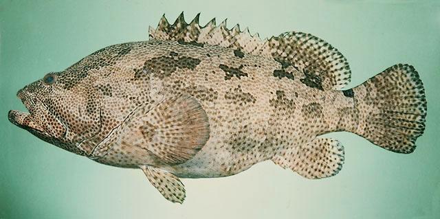 Cá mú hoa nâu Epinephelus fuscoguttatus