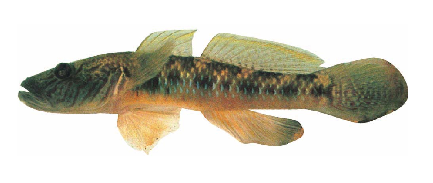 Cá bống cát