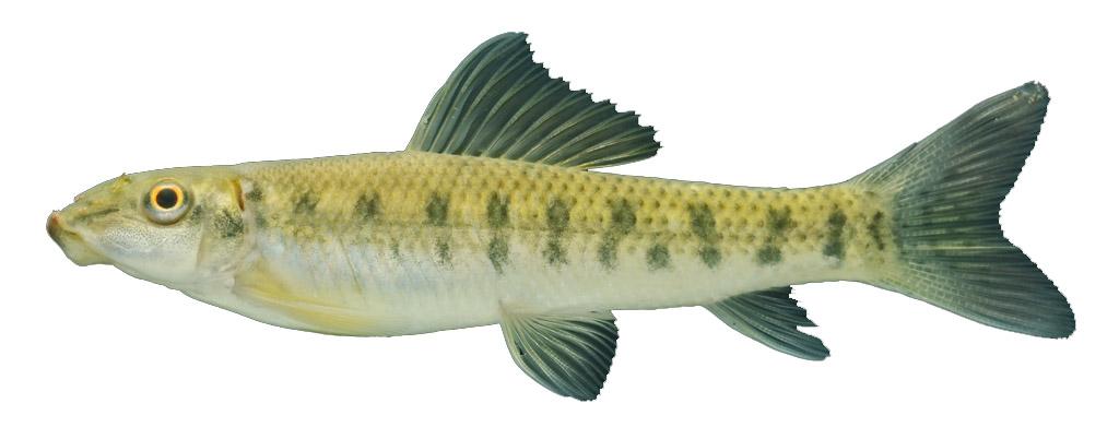 Cá may