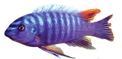 Cá hề bông