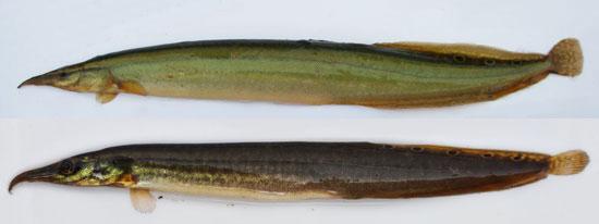 Cá chạch lá tre Mastacembelus aculeatus