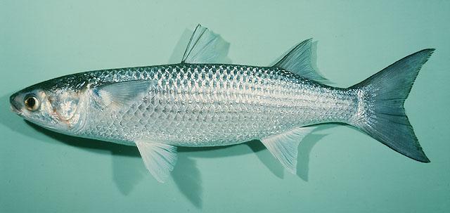 Cá đối Mugil cephalus