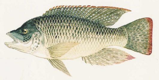 Cá rô phi Oreochromis mossambicus