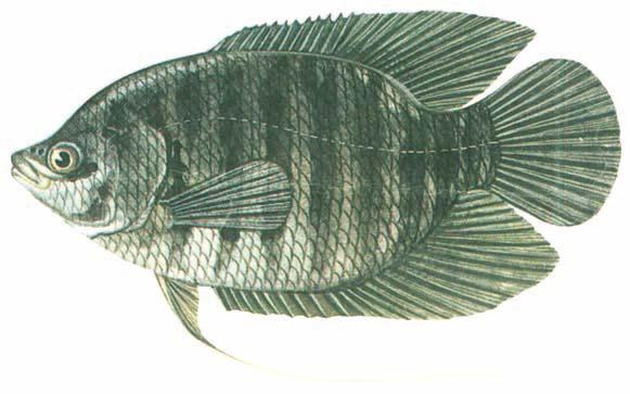 Cá tai tượng Osphronemus goramy