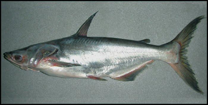 Cá bông lau Pangasius krempfi