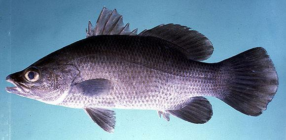 Cá chẽm mõm nhọn