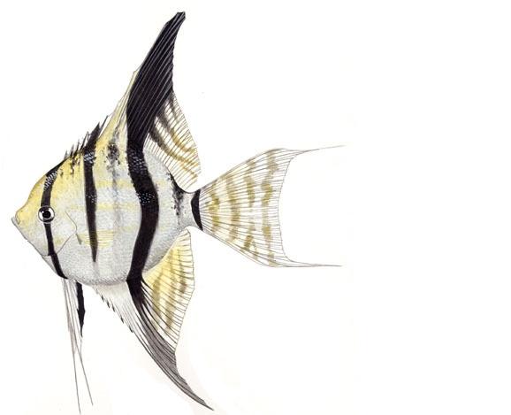 Cá ông tiên Pterophyllum spp