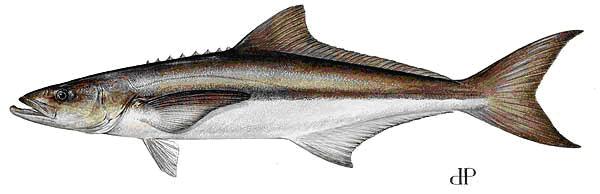 Cá giò Rachycentron canadum