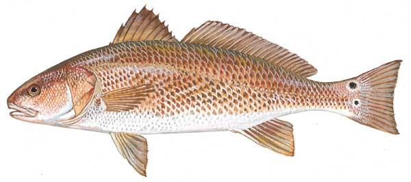 Cá đù đỏ Mỹ
