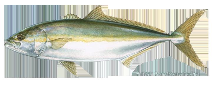 how to bake yellowtail fish