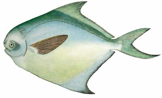 Cá chim trắng Stromateoides argenteus
