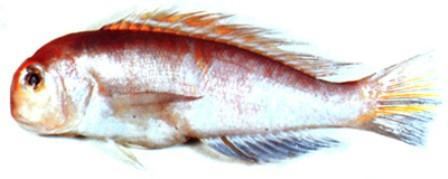 Cá đầu vuông