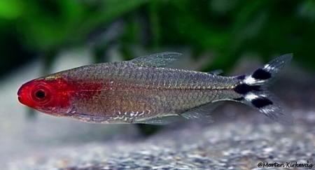 Cá hồng thủ mũi đỏ
