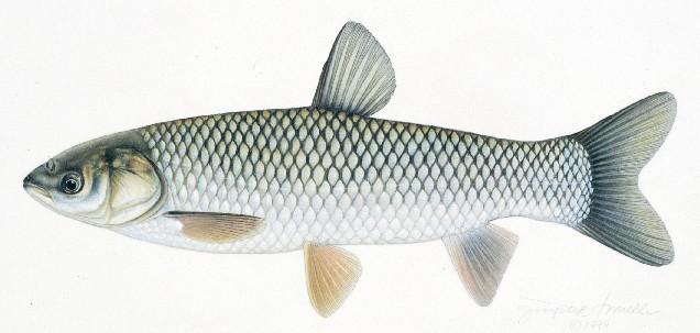 Cá trắm cỏ Ctenopharyngodon idella