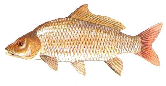Cá chép Cyprinus carpio