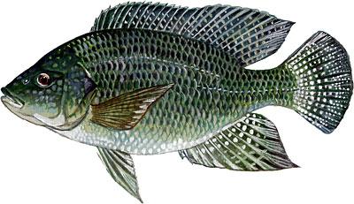 Cá rô phi vằn Oreochromis niloticus