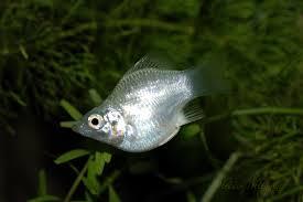 Cá mô ly (trân châu)