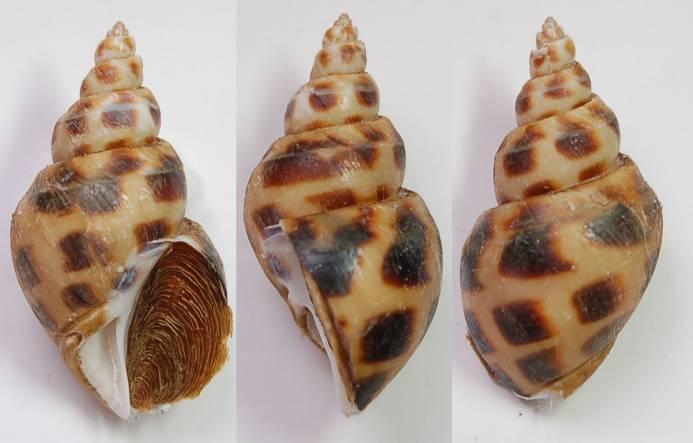 Ốc hương Babylonia areolata
