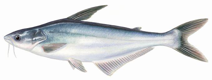 Cá tra Pangasius hypophthalmus