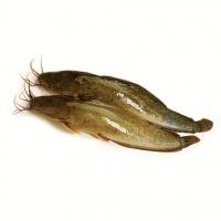 Cá trê vàng tại ao