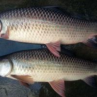 Giá cá trôi tại ao