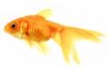 Carassius auratus