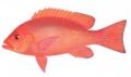 Lutjanus erythropterus