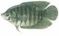 Osphronemus goramy