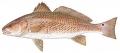Sciaenops ocellatus